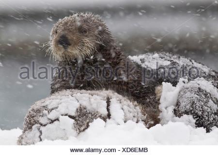 Snowcovered mère loutre de mer avec de jeunes petits au cours d'une tempête dans la baie du Prince William, Southcentral Alaska, Winter Banque D'Images