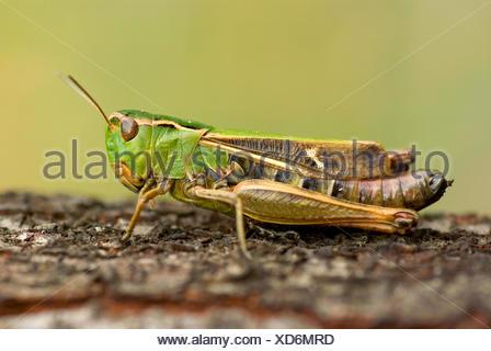 Stripe-winged grasshopper, bordée sauterelle (Stenobothrus lineatus), assis sur Plante, Allemagne Banque D'Images