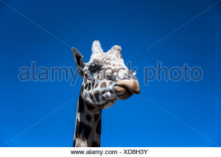 Giraffe réticulée