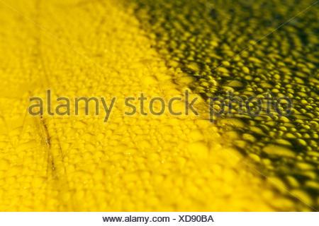 Perles d'eau sur une surface en plastique jaune. Banque D'Images