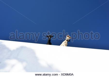Deux Chèvres On Snowy Hill Banque D'Images
