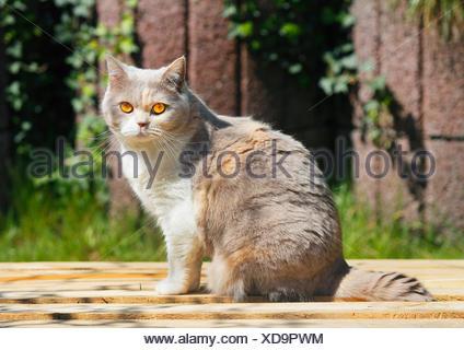 British Shorthair (Felis silvestris catus) f., 4 ans chat British Shorthair lilas tortie white assis dans le jardin