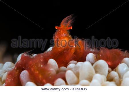 Crabe orang-outan dans Bubble Coral, Achaïos japonicus, Ambon, Moluques, Indonésie Banque D'Images