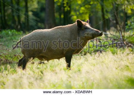 Le sanglier (Sus scrofa), d'une truie sauvage en pelage d'été debout sur une clairière forestière, la mamelle est visible, captive, Saxe, Allemagne Banque D'Images