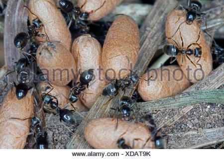 Jardin commun noir, fourmi noire (Lasius s. str., wahrscheinlich Lasius niger), nid de pupes et les travailleurs, Allemagne Banque D'Images