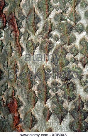 Le peuplier blanc, peuplier à feuilles d'argent, Abele (Populus alba), de l'écorce Banque D'Images