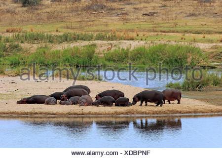 Hippopotamus, reposant sur la côte, le parc national Kruger, Afrique du Sud, Afrique / (Hippopotamus amphibius) Banque D'Images