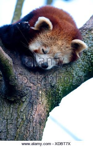 Petit panda rouge Banque D'Images