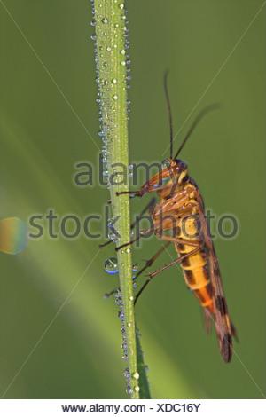 Scorpionfly (Panorpa communis commun), assis sur une feuille avec la rosée du matin, l'Allemagne, Rhénanie-Palatinat Banque D'Images