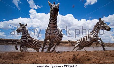 Zèbre Des Plaines ou commune troupeau traversant la rivière Mara - Point de vue grand angle (Equus quagga burchellii). Réserve nationale de Masai Mara au Kenya. À distance de la caméra grand angle de prise. Banque D'Images