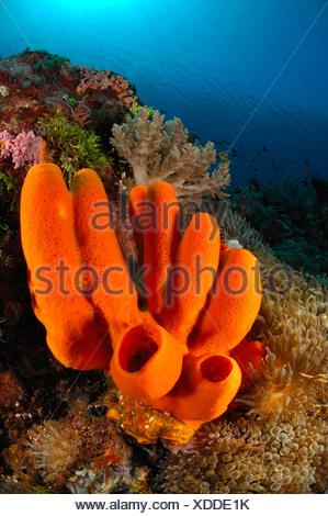 Tube de rouge en éponge, des récifs coralliens spongiaire, Alor, Indonésie Banque D'Images