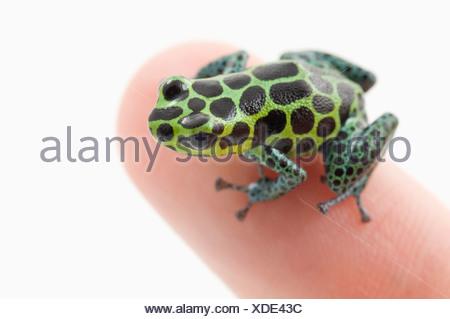 Vert tacheté noir Poison Dart Frog (Ranitomeya imitateur) sur un doigt de la personne Banque D'Images