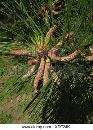 Jeffrey pin (Pinus jeffreyi), les cônes mâles en fleurs
