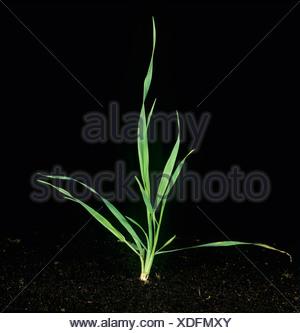 La folle avoine (Avena fatua) jeune plant de tallage Banque D'Images