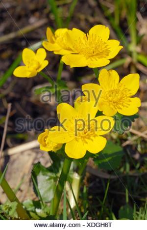 Kingcup ou Populage des marais (Caltha palustris), aux fleurs jaunes