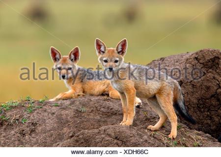 Le chacal à dos noir (Canis mesomelas), deux oursons à la den, Kenya, Masai Mara National Park Banque D'Images