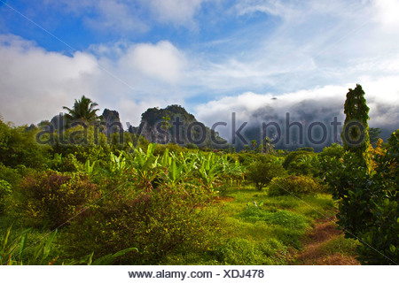 Plantation de bananes dans la forêt tropicale dans la brume matinale, la Thaïlande, Sura Thani, parc national de Khao Sok