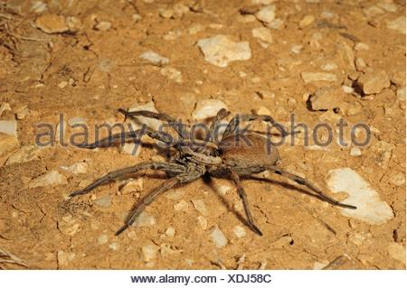 Tarantula européenne (Lycosa sp.), assis sur le sol, la Croatie, Istrie Banque D'Images