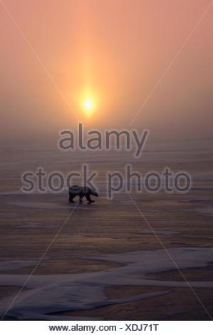 L'ours blanc, Ursus maritimus, promenades sur la glace au coucher du soleil; Cape Churchill, Manitoba, Canada