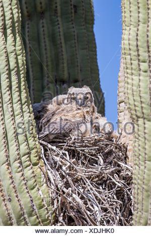 Grand-duc d'Amérique (Bubo virginianus), les jeunes oiseaux dans le nid dans un saguro, USA, Arizona, Phoenix, Sonorawueste Banque D'Images