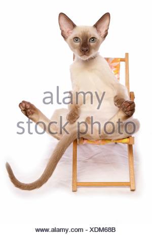 Chat domestique chaton en chaise longue sur la plage banque d 39 images photo stock 21934623 alamy - Chaton tonkinois ...