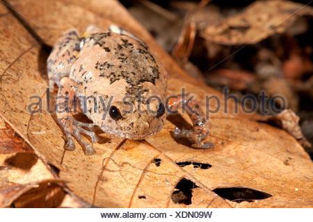 Photo d'un trou d'arbre grenouille, elles pondent leurs œufs dans des trous d'arbres, les hommes appel à partir d'arbres de sorte que les femmes puissent les localiser Banque D'Images