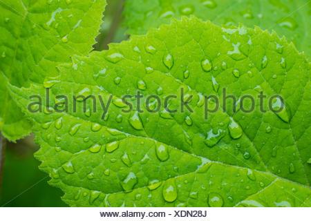 Gouttes de pluie sur les feuilles d'Hydrangea, Hortensia macrophylla, île de Vancouver, Colombie-Britannique, Canada Banque D'Images
