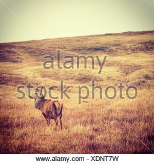 Cerf debout dans un champ, Jura, Hébrides intérieures, Argyll et Bute, Écosse, Royaume-Uni Banque D'Images