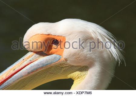 Le pélican blanc d'Amérique (Pelecanus onocrotalus), portrait de Pelican Quax à Luisenpark Mannheim, Allemagne, Luisenpark Mannheim Banque D'Images