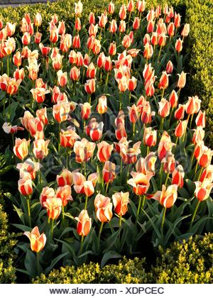 Tulps Tulipa hybr Lisse, Holland Banque D'Images