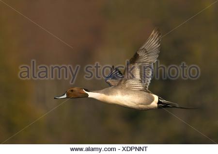 Les Canards pilets (Anas acuta) en vol à la lagune Esquimalt, Victoria, île de Vancouver, Colombie-Britannique, Canada Banque D'Images