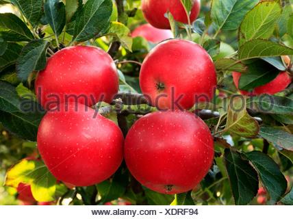 'Découverte' Apple, Malus domestica, pommes rouges, nommé variété varieties growing on tree Banque D'Images