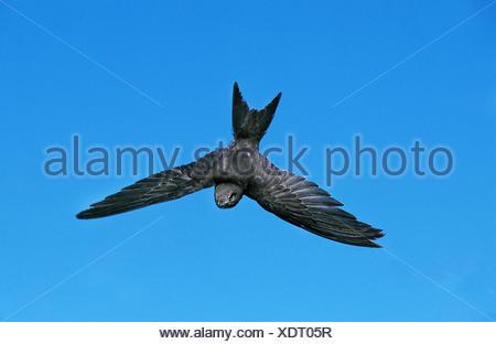 Apus apus Common Swift, adultes, en vol sur fond de ciel bleu Banque D'Images