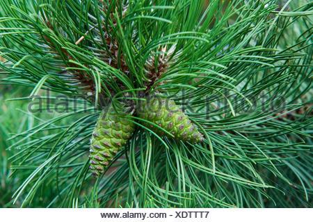 La pendaison de cône sur la branche du pin Banque D'Images