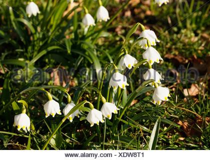 Printemps Leucojum vernum (flocon), Bavière, Allemagne