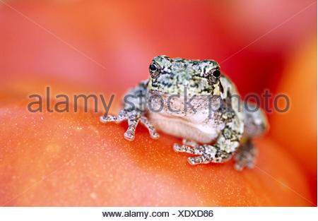 La rainette versicolore (Hyla versicolor). L'Ontario. Canada Banque D'Images
