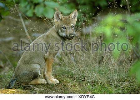Le loup gris d'Europe (Canis lupus lupus), l'Allemagne, assis dragonnet Banque D'Images