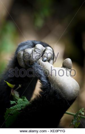 Gorille des plaines de l'Est (Gorilla gorilla graueri) main et pied de jeune gorille, Kahuzi Biega NP, République démocratique du Congo. Gorille de plaine de l'Est, République démocratique du Congo. Banque D'Images