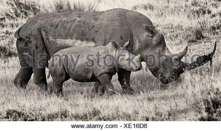 White Rhino la mère et l'enfant marche dans l'herbe, mother's long horn est étendu de débris, pour protéger bébé, vue latérale en mono Banque D'Images