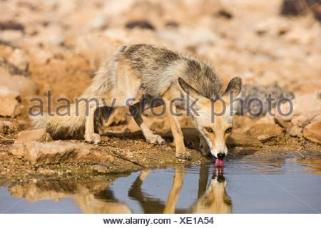 Le renard roux (Vulpes vulpes). Banque D'Images