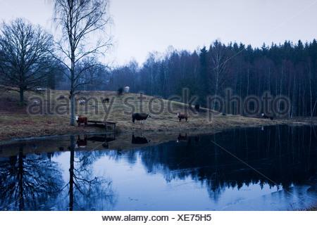 Péninsule scandinave, en Suède, Malmö, vue de vaches par lake Banque D'Images