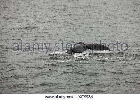 La queue d'une baleine à bosse, Megaptera novaeangliae, les manquements à l'eau. Banque D'Images