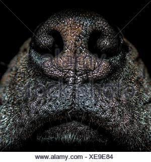 Close up of dog's nose Banque D'Images