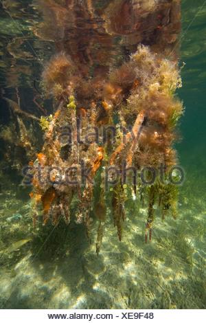 Les racines des palétuviers rouges, Rhizophora mangle, Key Largo, Florida, USA Banque D'Images