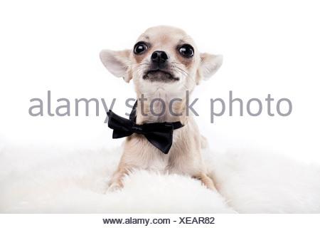 Portrait of cute Chihuahua avec les yeux grand ouverts wearing neck tie against white background Banque D'Images