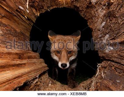 / Red Fox (Vulpes vulpes) Banque D'Images