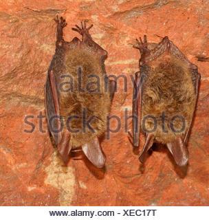 Les chauves-souris de Bechstein (Myotis bechsteinii) en hibernation, Bad Hersfeld, Hesse, Allemagne Banque D'Images