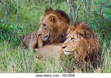 Deux lions couchés dans l'herbe, Limpopo, Afrique du Sud Banque D'Images