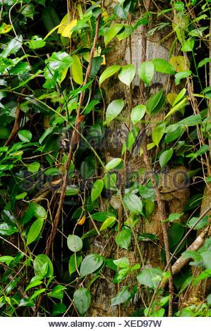 plante grimpante nouvelle caledonie