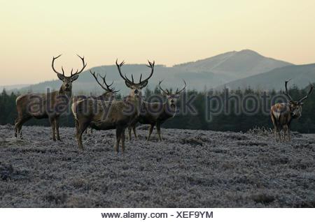 Deer à Spittal of Glen Muick, Grampian Montagnes Cairngorms, Highlands, Ecosse, Grande-Bretagne, Banque D'Images